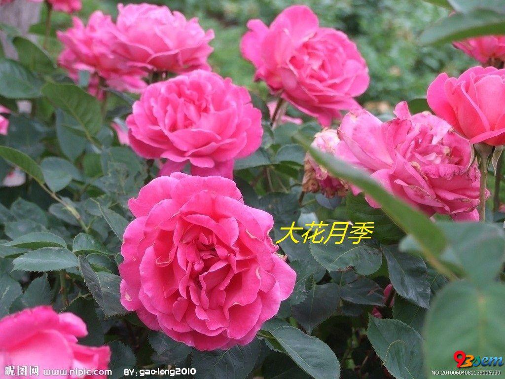 河北月季花——河北苗木