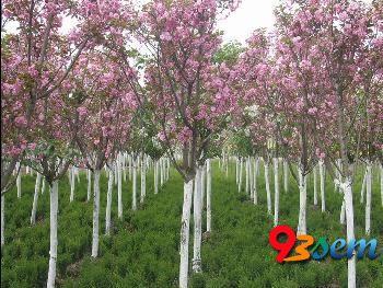 石家庄绿化苗木樱花